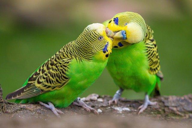 zelené andulky